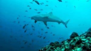 Tiger shark at Coco island