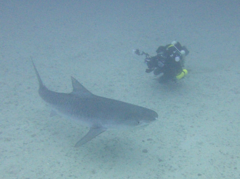 tiger shark on cocos island