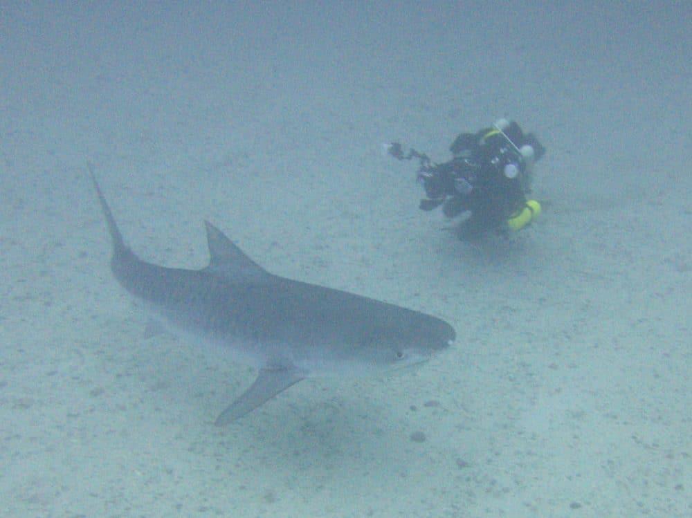 tiger shark on cocos island