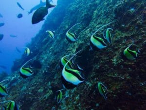 moorish idols in costa rica