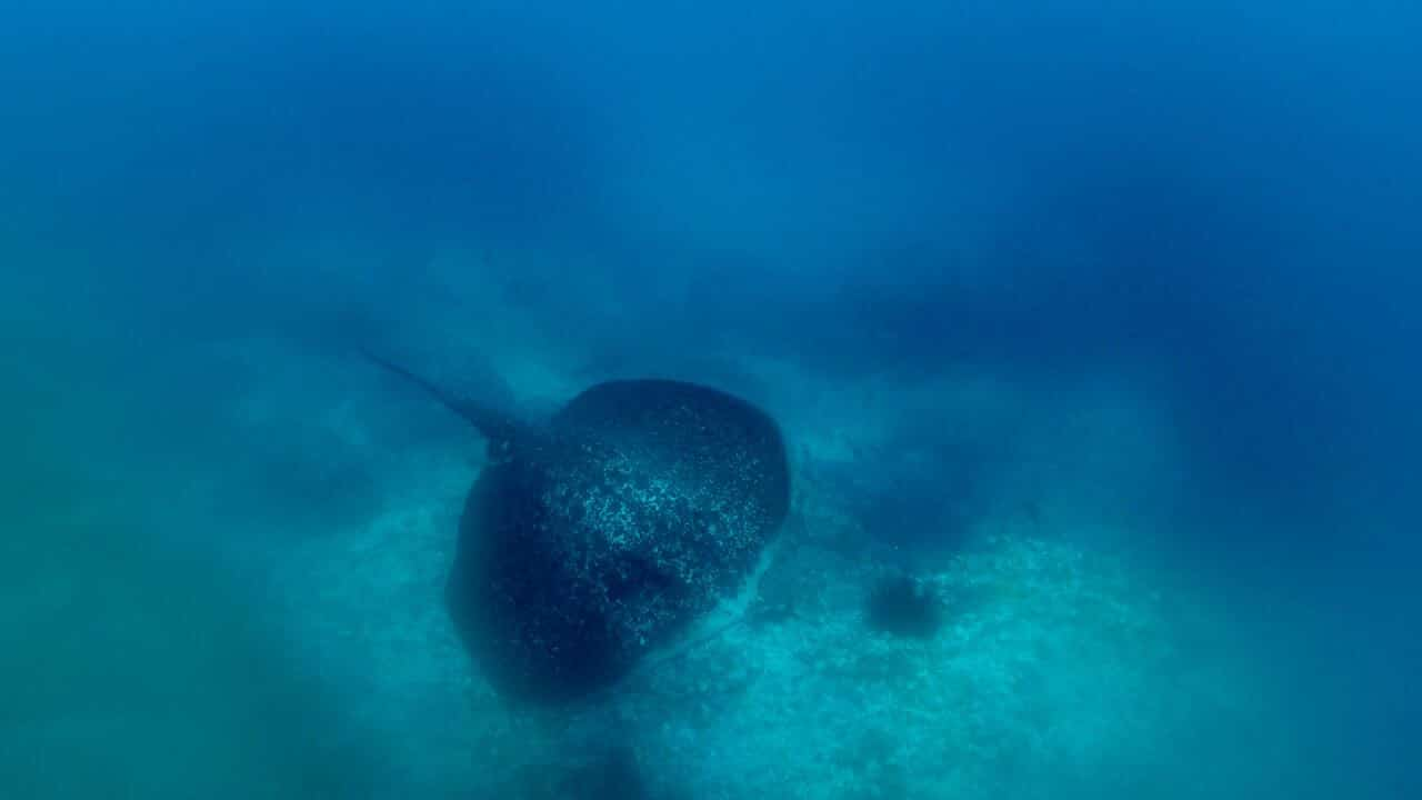 marbled ray at Cocos Island
