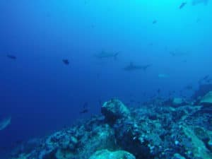 hammerheads at alcyone