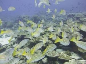 fish shoaling isla del coco
