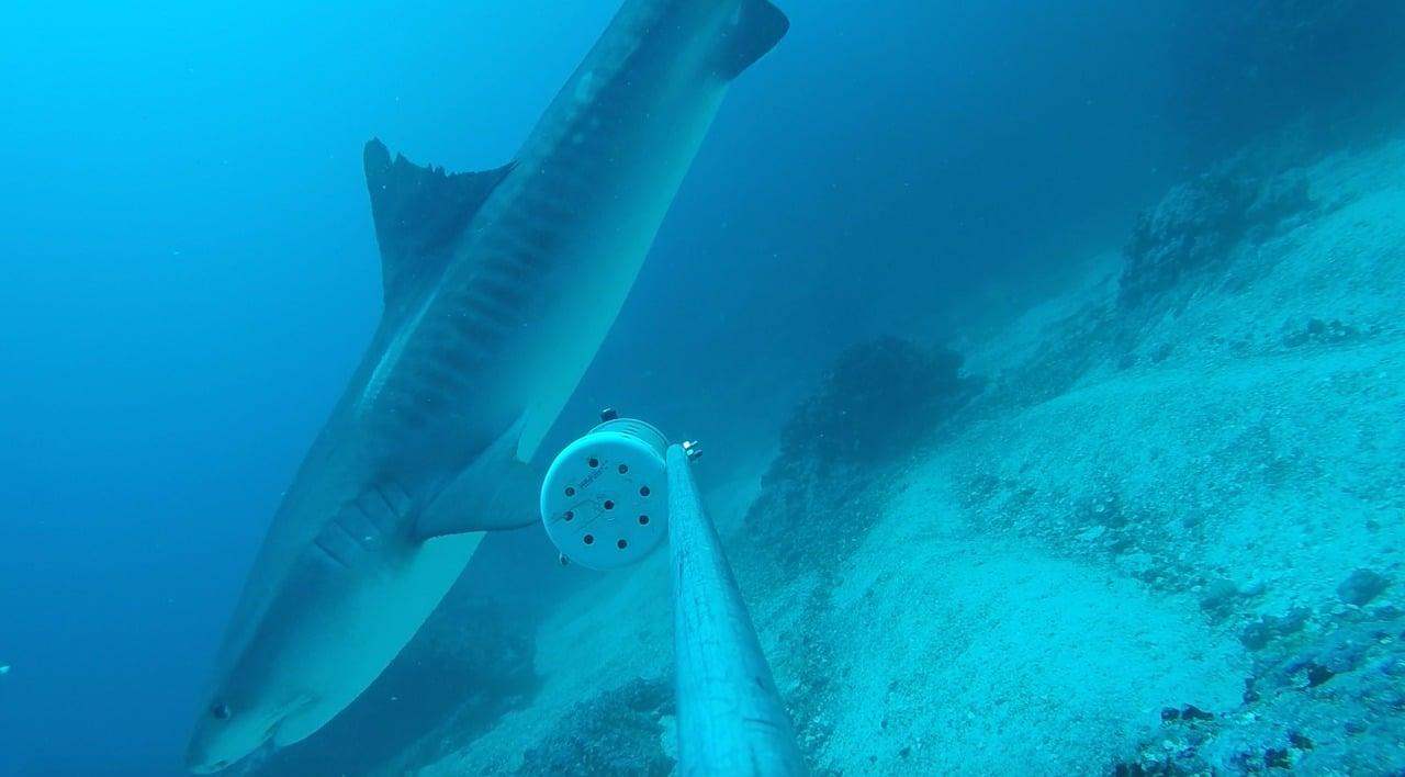 Tiger shark at Cocos